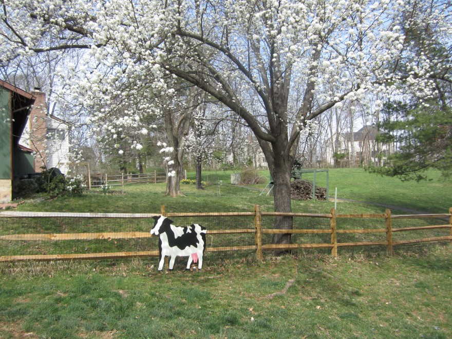 cow in the backyard